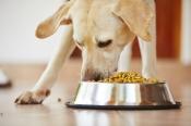 cane che mangia i croccantini